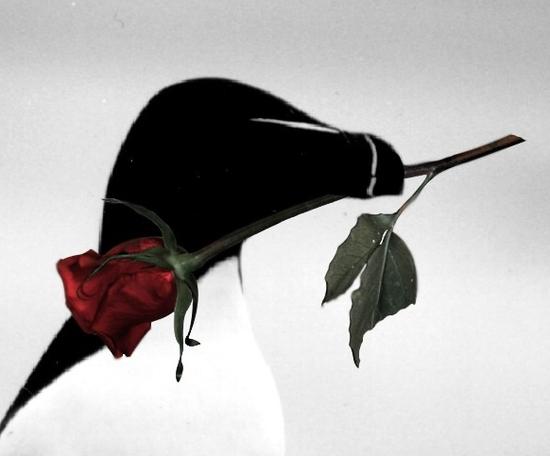 Un pingouin la rose au bec